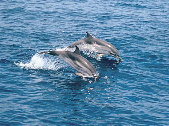 cetacis - dofins ratllats