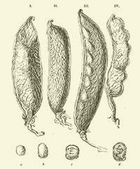 Variacions del Darwin domèstic: pèsols