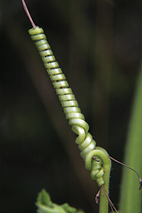 Plantes enfiladisses: carabassera