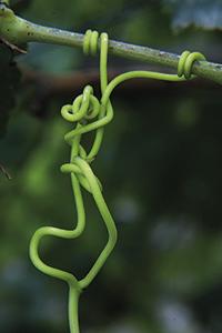Plantes enfiladisses: parra