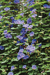 Plantes enfiladisses: Japanese morning glory