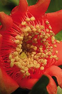 flor del magraner