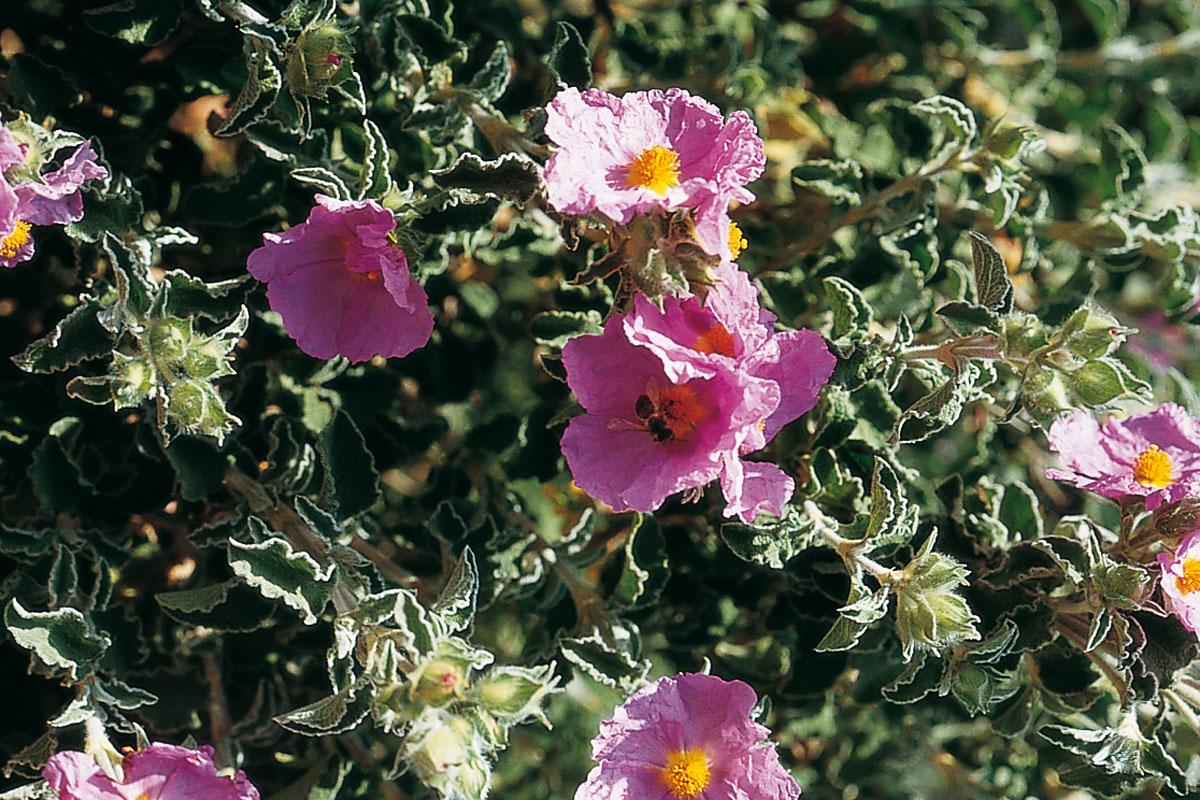 Flora valenciana d'interès apícola