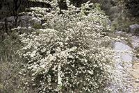 Floració de Crataegus monogyna al llit del barranc.