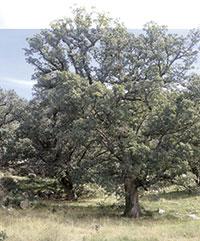 Roure de fulla petita centenari al pla de les Barraques, antiga zona carbonera de la finca i devesa del ramat.