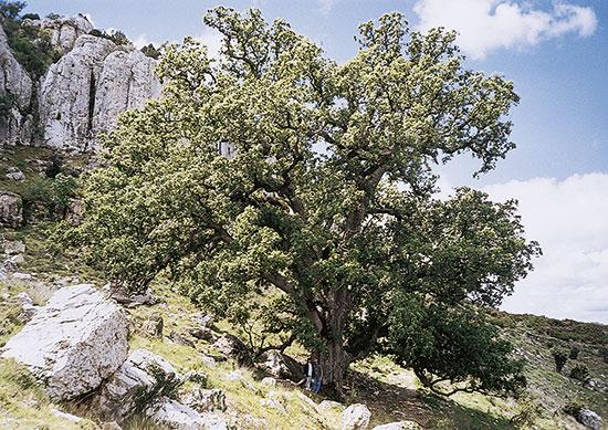El roure gros, un esplèndid exemplar de 20 metres d'altura i 6 metres de perímetre de tronc, amb una edat estimada de 550 a 600 anys.