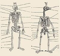 L'inquietant gravat que compara un esquelet d'ocell i un d'humà, inclòs a L'histoire de la nature des oyseaux (1555) de Belon.