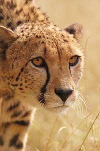 58-78_guepard