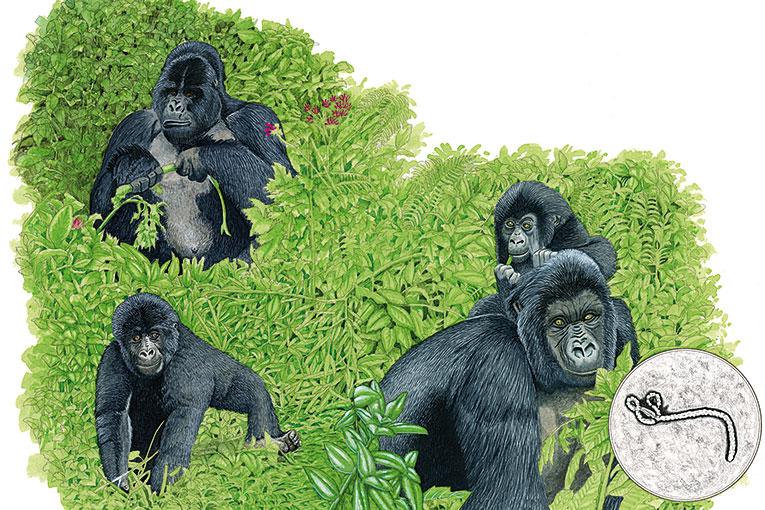 goriles-amb-ebola