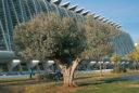 oliveres a la Ciutat de les Arts i les Ciències