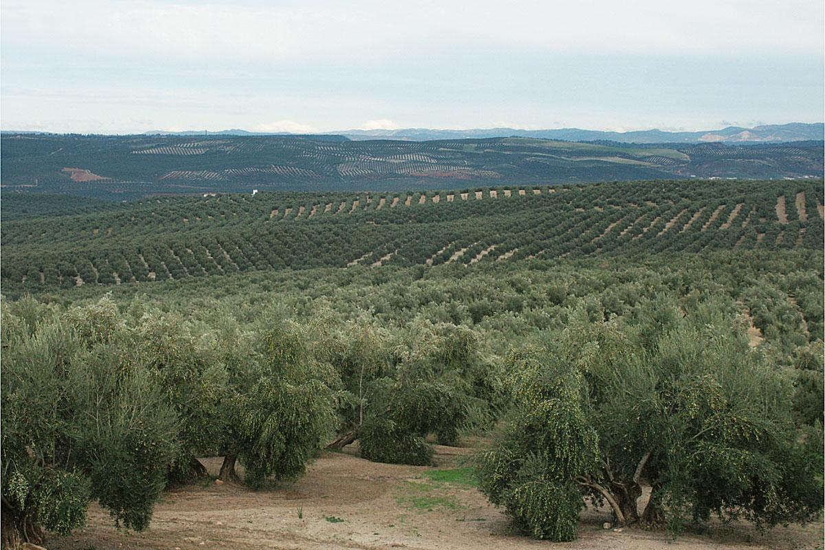 oliverar ecològic