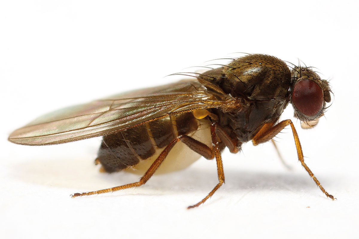 Drosophila subobscura