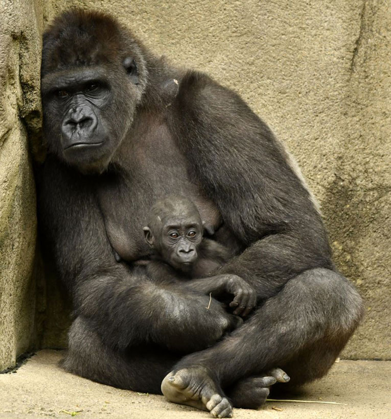 gorila-dins1