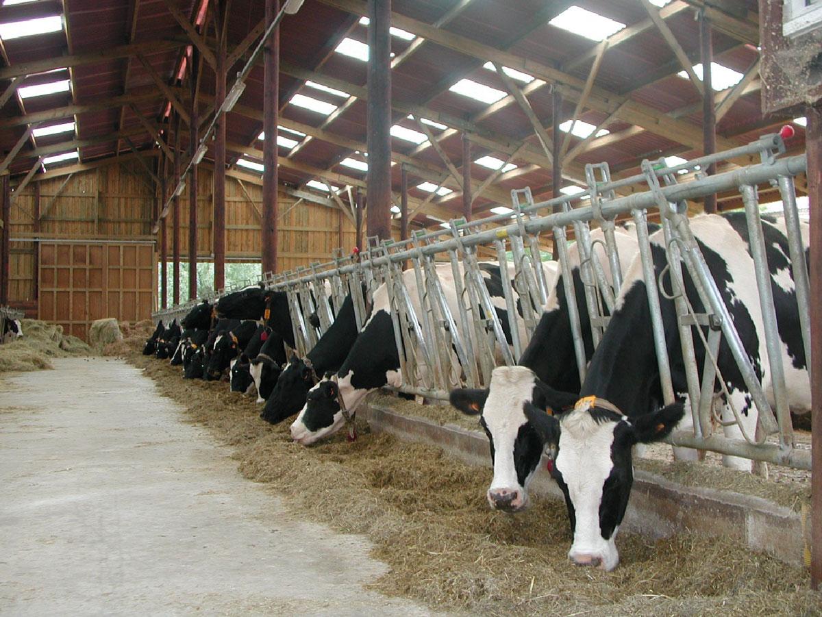 crisis sanitàries vaques boges