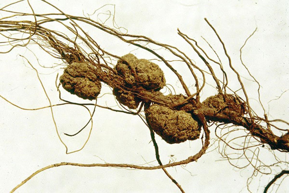 Poden tindre càncer les plantes?
