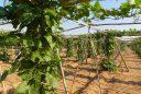 'Catàleg valencià de varietats tradicionals d'interés agrari'.