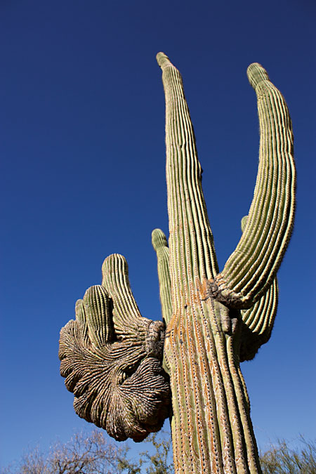 saguaro cancer