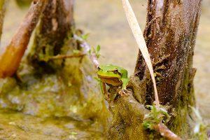 granotes biodiversitat txernobil