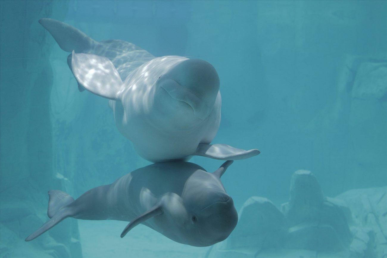 mare i cria beluga