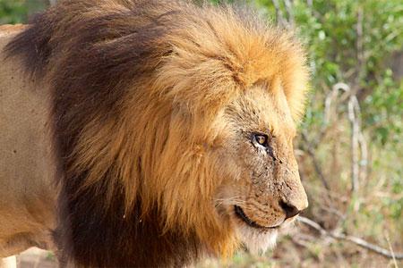 lleó africà