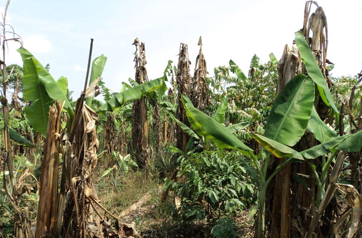 cultiu plàtans a Tanzània