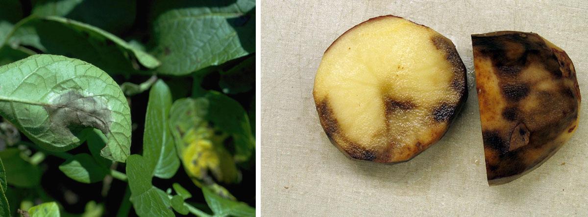 Patògen patata