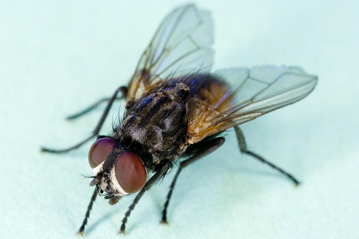 mosca domèstica