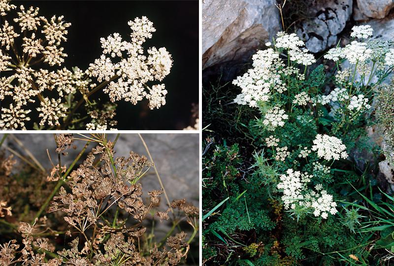 flora singular puig major