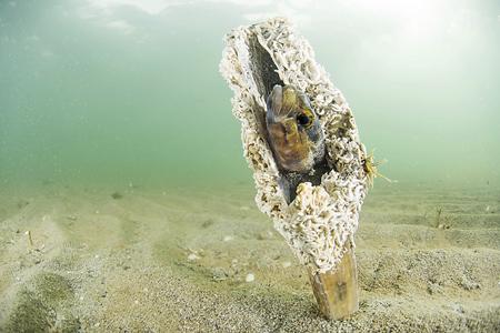 figura 6 mar menor conquilla nacra